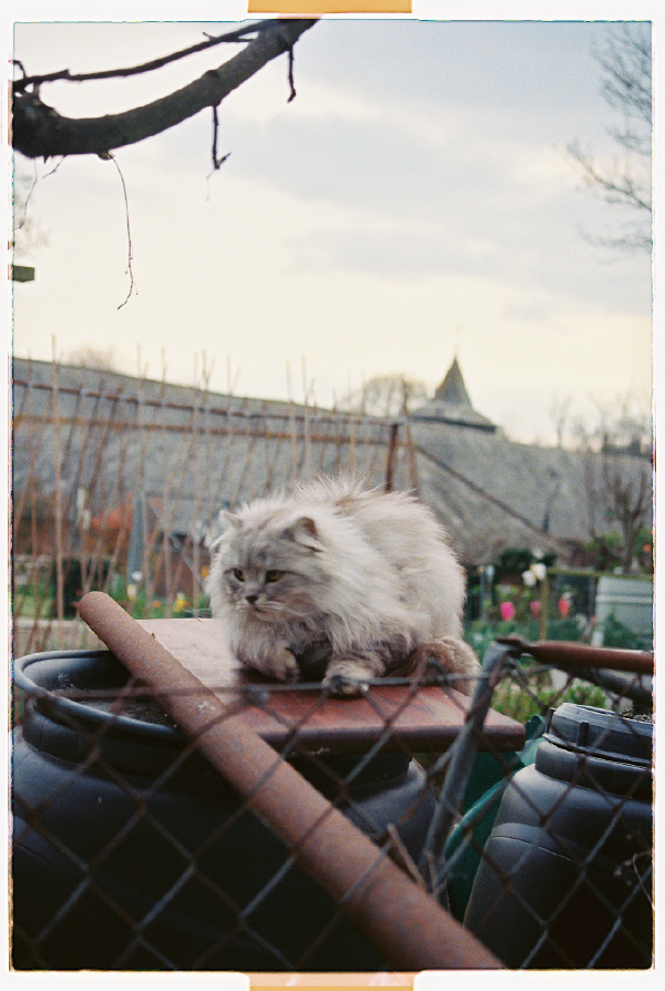 Cat in Allotment